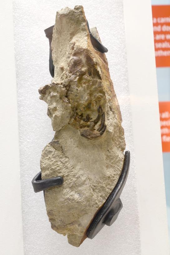 Protictus