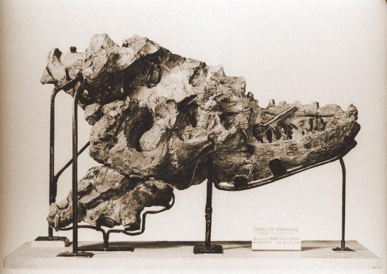 Feb 8- Albertosaurus Skull