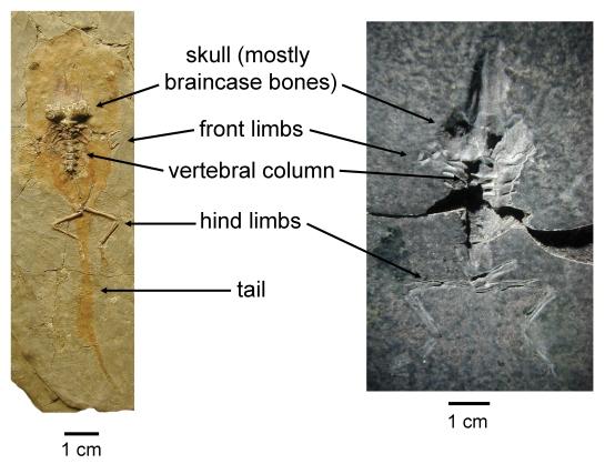 Fossil tadpole blog_fig 2_2016-08-22