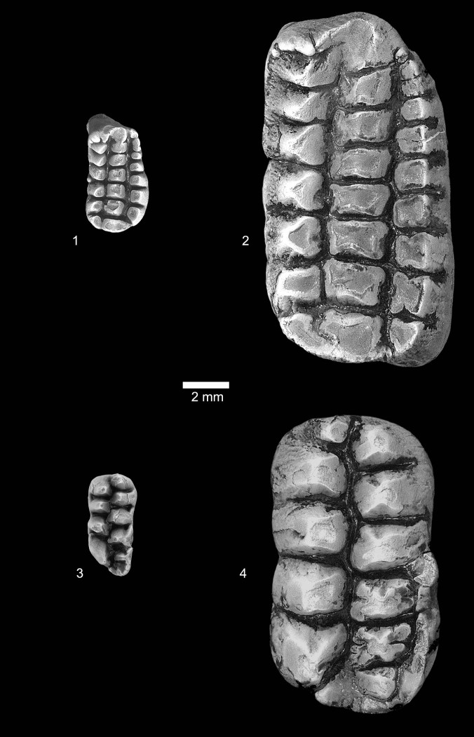 A comparison of the teeth of Catopsalis kakwa (left) and Catopsalis calgariensis (right), the biggest Catopsalis species and a near-contemporary of C. kakwa.