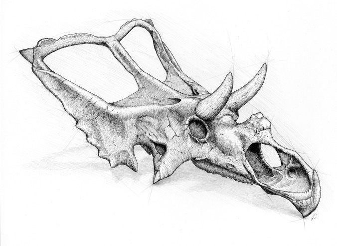 A chasmosaurine skull. Note the long frill, large postorbital horns above the eye sockets and small nasal horn. Illustration by Julius Csotonyi.