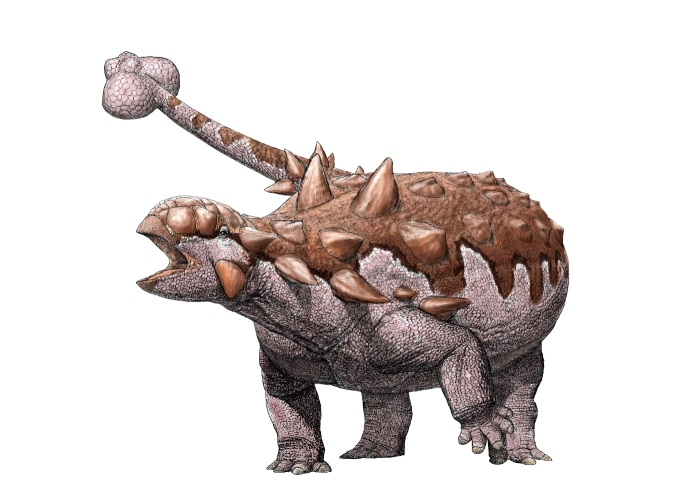 An illustration of an ankylosaur Note the large tail club. Illustration by Julius Csotonyi.