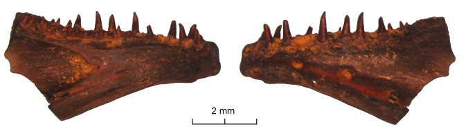 A disarticulated dentary (the front bone of the lower jaw) that was identified as similar to Joffrichthys tanyourus.