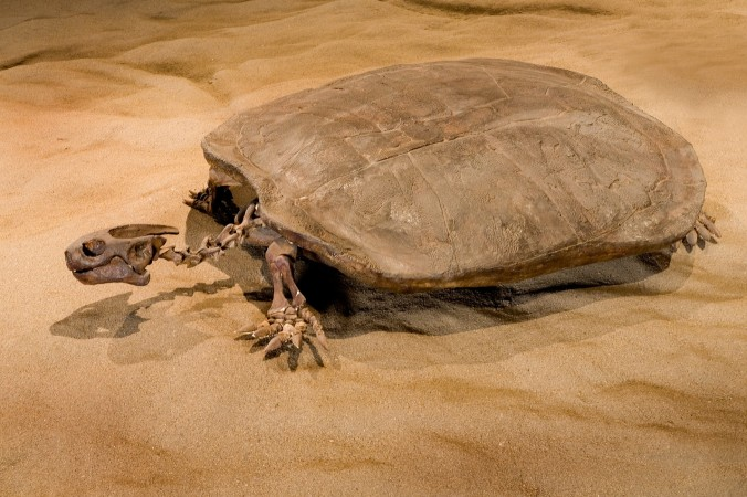 A cast of a Basilemys turtle on display in Dinosaur Hall.