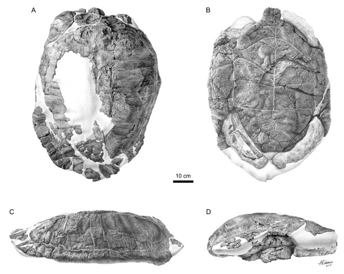 An interpretive drawing of the shell of Basilemys morrinensis. A. back of shell. B bottom of shell. C. right side view. D. front view. Image credit: Canadian Museum of Nature.