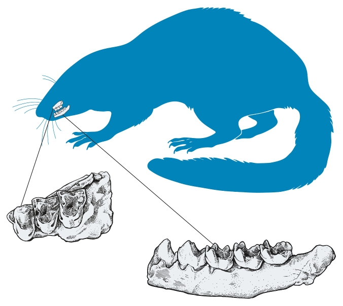 An illustration showing the preserved parts of Ferrequitherium sweeti, a new genus and species of eutherian mammal