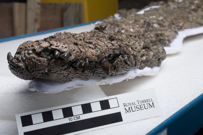 Albertosuchus knudsenii. 66 million years old. Late Cretaceous, Scollard Formation. Dry Island Buffalo Jump Provincial Park, Alberta.