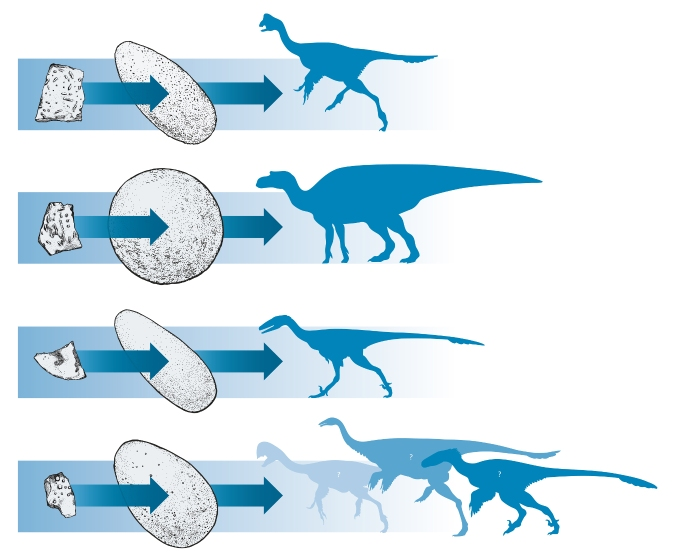 Most eggshells and eggs cannot be assigned to a particular dinosaur species so they have their own scientific classification called ootaxonomy. These illustrations show which dinosaur species the eggs may have been from.