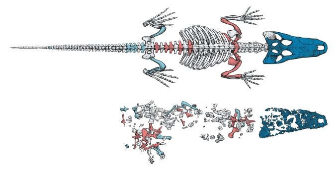 An illustration showing the bones of Albertosuchus and what they look like when articulated.